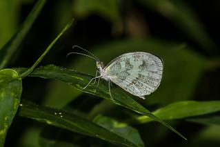 Dismorphia thermesia - IMG_5249