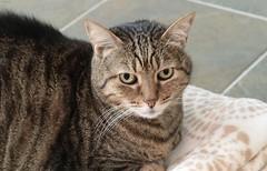 Toff (zeesstof) Tags: zeesstof zeissoncanon zeissplanar85mmf14t prime manual lowlight naturallighting pet cat feline partmau streetcat egyptian egyptiancat toffee 15