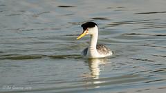 Clark's Grebe (Bob Gunderson) Tags: aechmophorusclarkii birds california clarksgrebe concretebridge grebes lakemerced northerncalifornia sanfrancisco