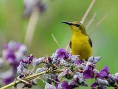 Olive-backed sunbird (Cinnyris jugularis) (Robert-Ang) Tags: sunbird bird animal nature wildlife cinnyrisjugularis olivebackedsunbird animalplanet jurongecogarden singapore
