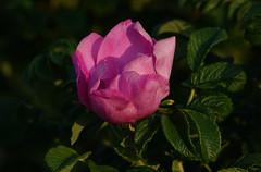 A prickling type (eric zijn fotoos) Tags: flower bloem light licht macro makro noordholland holland nederland thenetherlands plant natuur nature blad leaf pink rode roos