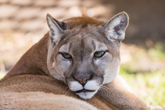 Florida Panther (Linda Martin Photography) Tags: pumaconcolorcoryi wildlife nature gatorland bigcat us floridapanther florida animal coth naturethroughthelens coth5 ngc alittlebeauty specanimal npc
