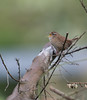 Wren (dusk_rider) Tags: bird wren singing tree branch nikon d7200 wildlife nature 200500mm dusk rider