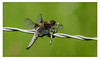 Blue Wire (Alan-Taylor) Tags: staveleynaturereserve dragon fly dragonfly ywt yorkshirewildlifetrust