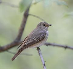Spotted flycatcher (v_mats) Tags: 70200 canonef70200mmf28lisiiusm canoneos5dmarkiii canon wildlife bird birds muscicapastriata spottedflycatcher