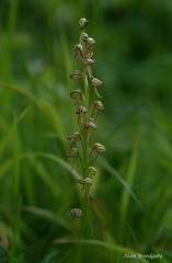 Man Orchid - Totternhoe -  Bedfordshire (Alan Woodgate) Tags: