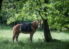Muttley (larecettedujour) Tags: abruzzo haflinger italy ponies sacredwalks muttley