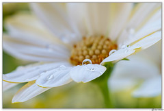 Daisy (Ken Mickel) Tags: africandaisy beautiful dewdrop dewdrops floral flower flowers flowersplants kenmickelphotography natural plants waterdrop waterdrops blossom botanical closeup daisy flora nature osteospermum photography upclose waterdroplets
