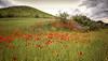 (290/18) Sabor a primavera (Pablo Arias) Tags: pabloarias photoshop photomatix capturenxd españa cielo nubes flor amapola campo hierba paisaje árbol paracuellosdejarama madrid