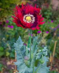 'Drama Queen' Poppy (julesnene) Tags: california canon5dmarkiv juliasumangil papaver papaverhybridum burgundy flora julesnene poppy red ruby shaggyedges dramaqueenpoppy