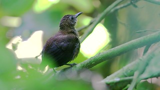Nightingale Wren (Microcerculus philomela)