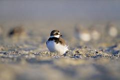 semipalmed breeding colors ( explored ) (G_Anderson) Tags: plover shorebirds beach south carolina sunrise