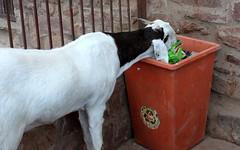 fatehpur sikri hungry goat (kexi) Tags: india asia uttarpradesh fatehpursikri goat animal garbage canon february 2017 white black red