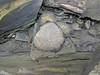 Pyrite concretion (Chattanooga Shale, Upper Devonian; Burkesville West Rt. 90 roadcut, Kentucky, USA) 1 (James St. John) Tags: chattanooga shale devonian burkesville kentucky pyrite iron sulfide concretion concretions nodule nodules