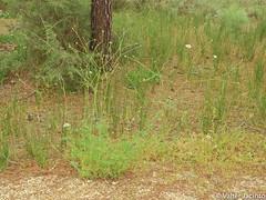Wild Plant (Pycnocomon rutifolium) (Valter Jacinto | Portugal) Tags: europe portugal algarve vilarealdesantoantónio plantae magnoliophyta magnoliopsida dipsacales dipsacaceae pycnocomon pycnocomonrutifolium flores flowers wildflowers whiteflowers nature naturephotography plantas plants flora taxonomy:binomial=pycnocomonrutifolium taxonomy:genus=pycnocomon taxonomy:family=dipsacaceae taxonomy:order=dipsacales taxonomy:class=magnoliopsida taxonomy:phylum=magnoliophyta taxonomy:kingdom=plantae geo:region=europe geo:country=portugal nikoncoolpixp900 p900