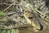 Eastern Hognose Snake (Nick Scobel) Tags: eastern hognose snake hognosed heterodon platirhinos michigan wetland blow puff adder play deasd