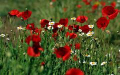 El resurgir de la Primavera (pepebarambio) Tags: flores primavera amapolas margaritas