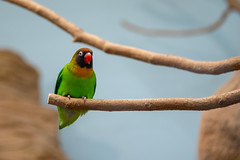 Lovely Lovebird (erikthijs1) Tags: zoo antwerp antwerpzoo animals