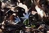 jdy063XX20170304a8206Bias-0.3 stops.jpg (rachelgreenbelt) Tags: monocots usa greenbelt northamerica midatlanticregion orderasparagales ouryard maryland familyasparagaceae ghigreenbelthomesinc puschkinia americas puschkiniaall magnoliophyta asparagaceae asparagaceaefamily asparagales floweringplants irides monocotyledons oneplant singleplantportrait spermatophytes