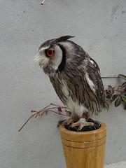 DSC07664 (guyfogwill) Tags: 2018 birds brandonsbirthday devon gbr guyfogwill may northernwhitefacedowl owls paignton unitedkingdom paigntontorquay