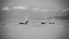 Lightroom of 3 whales for online (Freshairphotography) Tags: orca killerwhale whale orcinusorca coast coastmountains georgiastrait pacificocean marinemammal mammal blackandwhite serene calming bc bcwildlife ilovebc britishcolumbia biggswhales canada light nature