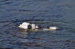 Keep your head up! Explored 31-05-18) (Sundornvic) Tags: water swim puppy dog collie welsh tribluemerle luna pet beach seaside