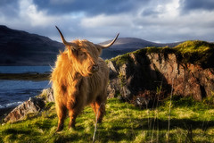 Scottish Beauty (hess.photo) Tags: kuh kühe mammalia reisen scotland säugetiere tier tiere uk unitedkingdom vereinigteskönigreich animal animalia animals cow cows mammals mammifères travels vache