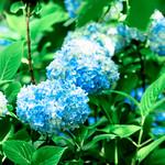 Hydrangea : アジサイ(紫陽花) thumbnail