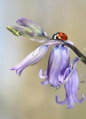 Bluebell & lady bird (bilska.anna) Tags:
