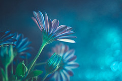 Blue dream (Ro Cafe) Tags: mm macro macromondays theblues flowers blooms daisies blue bokeh textured nikkormicro105f28 nikond600