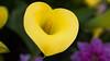 Flower heart 心花放 (ddli008) Tags: flower bokeh 花 散景 花圃 garden spring 花園 floral 꽃 blume closeup 馬蹄蘭 心 愛 love heart