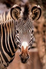 NZ Zebra 3-0 F LR 2-20-18 J022 (sunspotimages) Tags: animal animals zebra zebras zoo zoos zoosofnorthamerica nationalzoo fonz fonz2018 wildlife nature