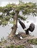 I think its Dad , just brought some nice grass in for the two eggs  to help them keep warm (pete#1) Tags: eagles nest eggs two island columbia british