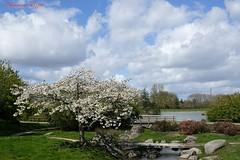 Cognassier du Japon à Fleurs 'Jet Trail' (Ezzo33) Tags: france gironde nouvelleaquitaine bordeaux ezzo33 nammour ezzat sony rx10m3 parc jardin fleur fleurs flower flowers park cognassier japon