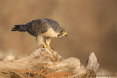 Peregrine Falcon (Matt Shellenberg) Tags: peregrine falcon peregrinefalcon raptor illinois matt shellenberg mississippiriver