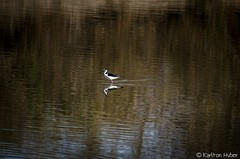 SJWR - By Itself_5357 (www.karltonhuberphotography.com) Tags: 2017 bird birdphotography blackneckedstilt facingleft horizontalimage isolation karltonhuber lake nature outdoors peaceful pond reflection ripples sanjoaquinwildliferefuge smallinframe solitude southerncalifornia wading walking water wildlife