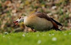 Painful ear ? (quentjoss) Tags: ouette egypte brussels bruxelles oiseau goose bird olympus zuiko pond grass