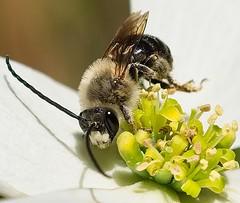 Long Horned Bee ( Eucera)  doing gymnastics on flowering dogwood. (MJRodock) Tags: ed40150mmf28 dogwood longhornedbee olympus macro f28