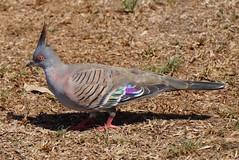 crested pigeon (Ocyphaps lophotes) (johnedmond) Tags: perth westernaustralia australia herdsmanlake bird wildlife nature pigeon sel55210 55210mm ilce3500 sony