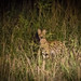 Lucky Strike - A Serval