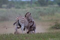 The challenge (leendert3) Tags: leonmolenaar southafrica wildlife nature krugernationalpark burchellszebra mammals ngc goldwildlife npc coth5