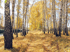 Along the creek (arthurverigin) Tags: forest siberia autumn russia road river creek birch landscape ubravnets
