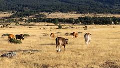 Vacances_5623 (Joanbrebo) Tags: adradadepirón castillayleón españa es segovia canoneos80d eosd autofocus efs1855mmf3556isstm landscape paisaje paisatge vacas cow animales animals nature naturaleza natura cowsaremypassion