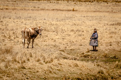 Walking the cow. (yeahwotever) Tags: cusco peru puno train