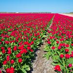 Tulpenvelden thumbnail