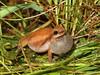 Desert Tree Frog (Litoria rubella) (Heleioporus) Tags: desert tree frog litoria rubella wet tropics queensland