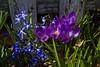 New Spring Light along an Old Picket Fence (brucetopher) Tags: spring flowers flower blue light garden colorful warmth sunlight sunshine sun beauty delicate season changeofseason purple