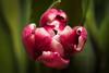 Tulipan (Magdalena Wyrębek - FotoMegiSia- Mannheim) Tags: macro fotomegisia tulipan 2018 365 tulpe tulip nikon nikkor nikond750 płatki