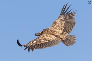 Grifo, Griffon Vulture (Gyps fulvus)r)