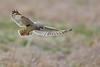 Yep, More Shorties (irelaia) Tags: short eared owl wing detail head turn wild bird